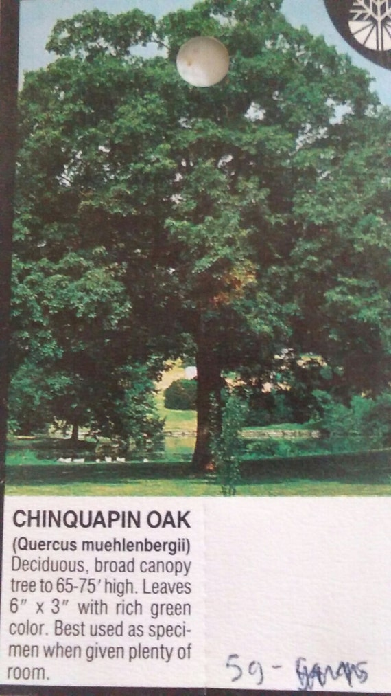 growing room live oak 4 5 chinquapin oak tree live healthy shade trees 13617