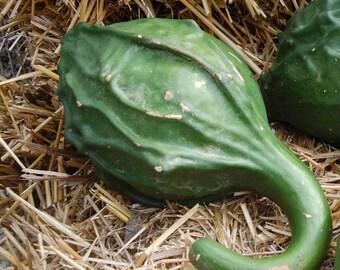 VGH) CAVEMAN CLUB Gourd~Seeds!!~~~~~~~~~~Big & Bold!!~~~Hardshell Variety!