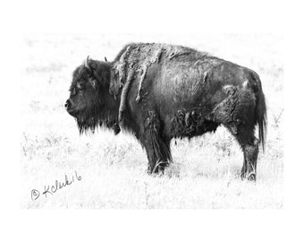 Bison Fine Art Photography Black and White Bison Ranch house chic country home decor dramatic detailed Western art decor Texas hill country