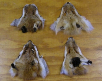 4 #1 Red Fox Faces