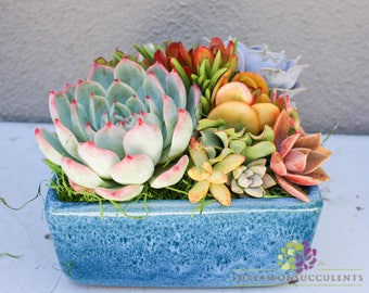Succulent arrangement in ocean blue square container/bowl-Large