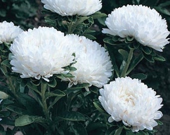 Aster- Milady White - 50 seeds