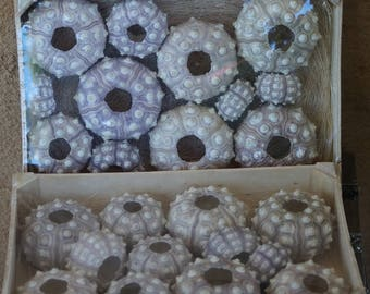 1 Bulk Display Box of Purple Sputnick Sea Urchins, Wholesale Sea Urchins, Bulk Sputnick Urchins, Sea Urchin, Purple Urchin, Sea Urchins