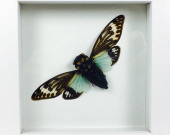 Cicada species | Tosena Splendida | Wooden Frame | Entomology | Insect Art