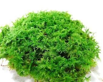Live moss, fern moss for a terrarium, vivarium, miniature gardens or craft projects, wedding decor, terrarium plant, moss supply
