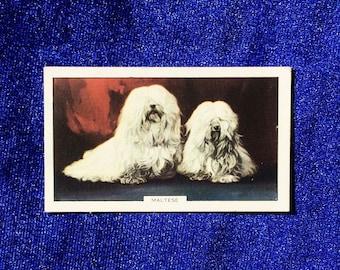 1938 Maltese Dog Portrait Gallaher Cigarette Card Valentine Gift!