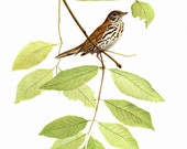 "The Wood Thrush painted by J F Landsdowne for the book Birds of the Eastern Forest: 2. The page is approx. 9 1/2""wide and 13 inches tall."