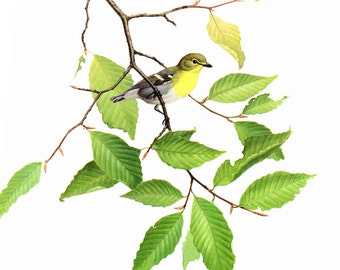 """Yellow Throated Vireo painted by J F Landsdowne for the book Birds of the Eastern Forest:2. The page is approx. 9 1/2"""" wide and 13"""" tall."""