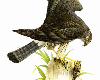 """Marsh Hawk painted by J F Landsdowne for the book Birds of the Eastern Forest:1. The Page is approx. 9 1/2"""" wide and 13"""" Tall."""