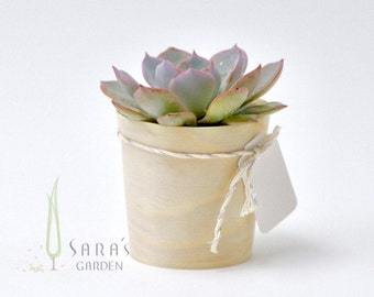 Mini succulent favour gift wrapped, Wedding succulent bombonieres, Echeveria succulent corporate gift, Sydney succulents , Minimum order 30
