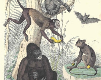 1857 Antique Monkey Print Engraving German Original Animals Zoology