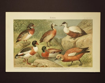 1905 Ducks, an original antique print from  1905,  an authentic lithography presenting different types of ducks.