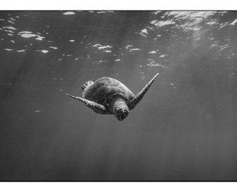 Sea Turtle Surfacing : Print