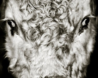The Bull II, Limited Edition Photograph, Fine Art Print, Portrait, Livestock, Animal, Farm, Wales, Pembrokeshire