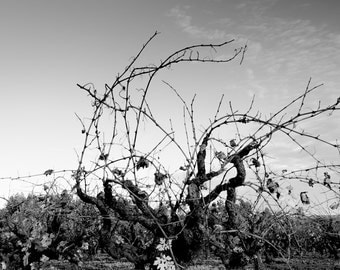 black and white photography, fine art photography, wine, vineyard, sonoma county, california, russian river, dry creek, zinfandel, vine