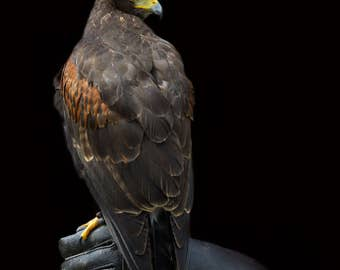 Harris Hawk, Bird of Prey Photography, Nature Photography, Animal photography, Limited Edition, Wall Art, Fine Art Print, Nature, Bird print