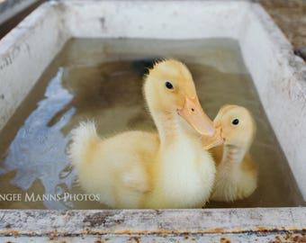 Duck Photograph, Farm Animal Photography, Rustic Home Decor