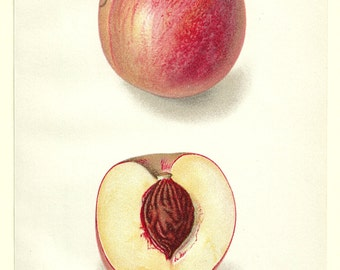 1911 Russell Peach Original Vintage Illustration Plate 100 Years Old