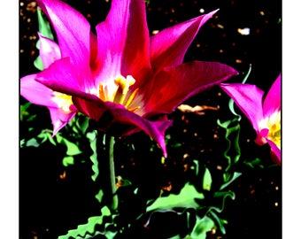 Explode with Pink, Photograph, Art Print, Wall Art, 8x10