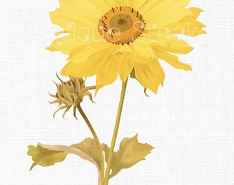 Digital Download 'Many Flower Sunflower' Vintage Illustration PNG and JPG Image for Invitations, DIY Projects, Wall Decor, Collages...