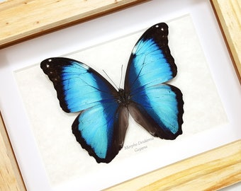 FREE SHIPPING Real Framed Blue Morpho Deidamia A1/A1- Quality Unique Butterfly Framed Taxidermy Mounted Spread