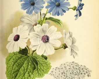 flowers-27657 - cineraire hybrids Cineraria sunflower blue white color digital vintage illustration botanical floral picture ancient paper