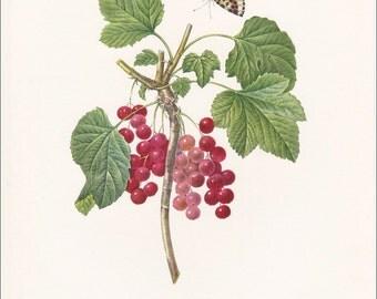 Redcurrant vintage botanical print gardening gift Ribes rubrum shrub edible fruit by Pierre-Joseph Redouté  7 x 9.25 inches