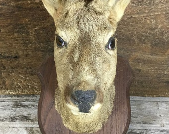 French Vintage Taxidermy: Male Roe Deer head - antlers just starting their velvet stage.