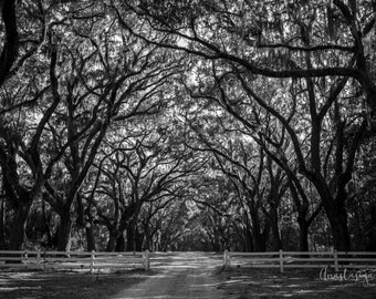 Fine Art Photography Print of Live Oak Trees in the Wormsloe Historic Site