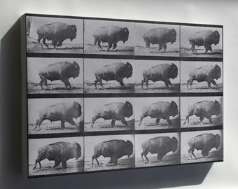 Canvas 16x24; Buffalo (American Bison) Galloping.  Eadweard Muybridge1887