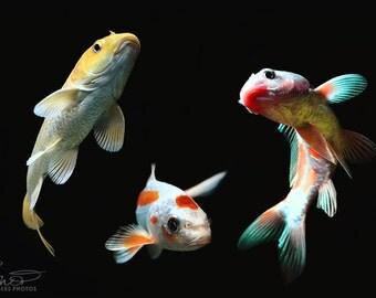 Goldfish canvas, fish canvas, fish, koi, goldfish, fine art photography, large canvas print, black, nature photography, animal photography