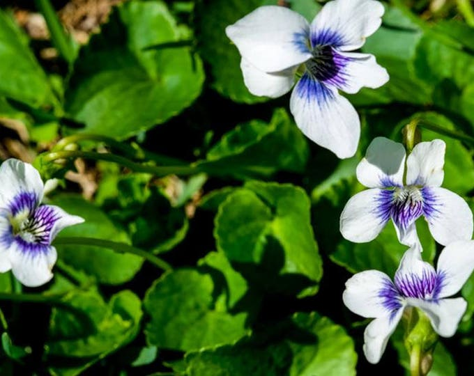 SPRING VIOLETS 1 | modern fine art photography blank note cards custom books interior wall decor affordable pictures –Rick Graves