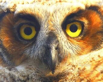 Eyes of an Owlet