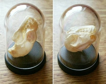 Bat skull taxidermy