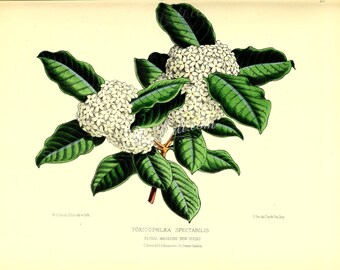 flowers-17417 - toxicophlaea spectabilis floral botanical digital instant download public domain picture image high resolution book page jpg