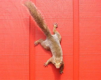 Gray Squirrel Taxidermy