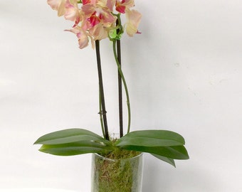 Terrarium Orchid Plant. Rare Narural Rainforest Species, A Indoor Plant, A Perfect Gift for Any Occasion