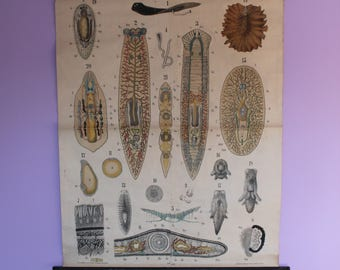 Sale - Price Reduced! Leuckart Zoology Chart - Series I, Chart 28 – Tubellaria (flatworms)