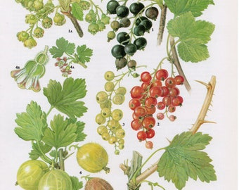 1960's Fruit Print - Vintage Currants and Gooseberry Fruit Lithograph