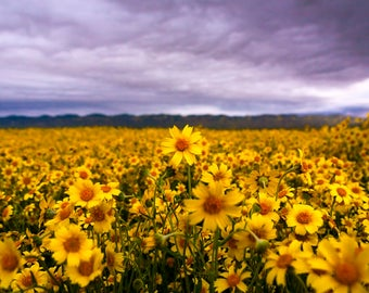 California Superbloom I: WALL ART Fine Art Photography Carrizo Plain SoCal Landscape Natural Bright Dramatic Color Spring Wildflowers