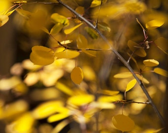 Abstract Yellow Aspen Leaves