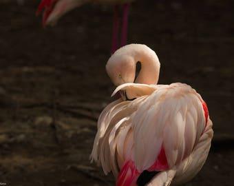 Fifty shades of pink - Flamingos - Animals - Photography - Photo - Art Photo - Rose - Pink - Shades