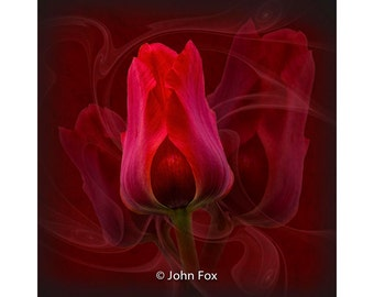 Digital download print 'Tulip', an original fine art photograph.