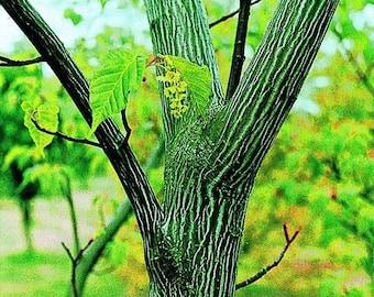 Acer Davidii SNAKEBARK Maple 25 Seeds Bonsai or Landscape - Combine Shipping!