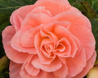 Tuberous Rooted Begonia Bulb:  Roseform Peach