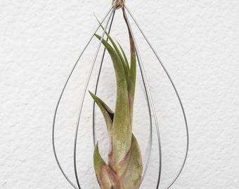 Air Plant. Tillandsia Medusae in hanging wire structure. Handicraft, decoration, floor of air, Handmade