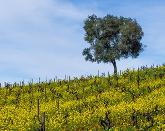 landscape photography, fine art photography, wine, vineyard, sonoma county, california, russian river, zinfandel, vine, mustard flowers
