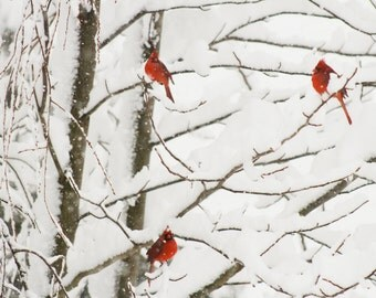Cardinals, Nature, Nature photography, Red, Wildlife, Winter, snow, Tree, Blizzard