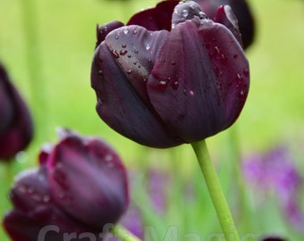 Deep Purple Tulip Matted Print