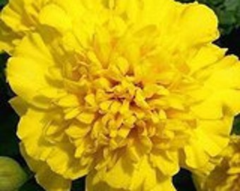 Yellow Marigold Flower Seeds-Organic Seeds-NON-GMO-Vegetable Seeds